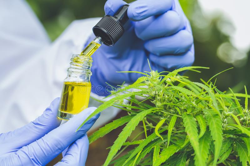Doctor   hand holding bottle of Cannabis oil against Marijuana plant, CBD oil pipette. Cannabis recipe for personal use, legal. Light drugs prescribe stock images