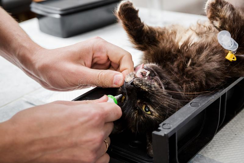 The doctor moisturizes the eyes with a special gel. Sterilization of a cat. Veterinary cat surgery, urolithiasis. Saves life. Emergency medical assistance in a royalty free stock photo