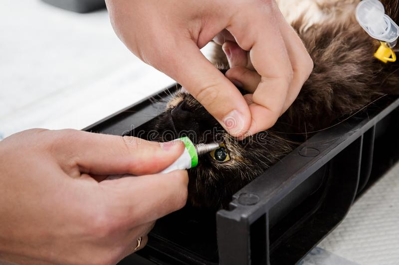 The doctor moisturizes the eyes with a special gel. Sterilization of a cat. Veterinary cat surgery, urolithiasis. Saves life. Emergency medical assistance in a stock photos
