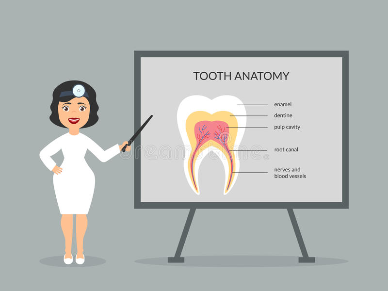 The doctor shows the structure of the human tooth. Dentist on presentation. Vector in flat design. The doctor shows the structure of the human tooth. Dentist on vector illustration