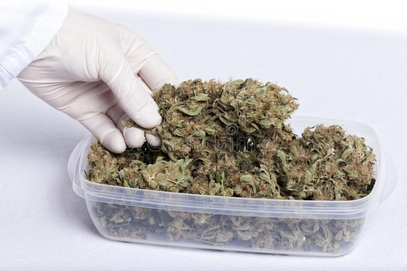 A doctor takes a bud of medicinal cannabis. A doctor takes a bud of a tupperware filled with medicinal cannabis stock image