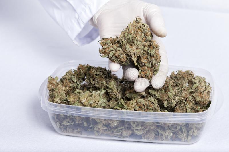 A doctor takes a bud of medicinal cannabis. A doctor takes a bud of a tupperware filled with medicinal cannabis on white royalty free stock photography