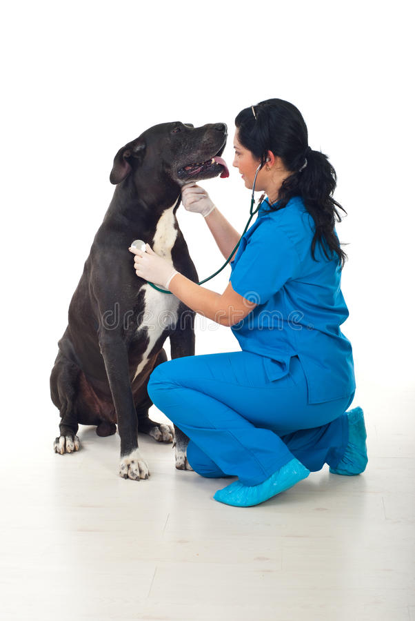 Doctor vet checkup great dane dog stock photography