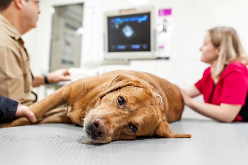 Doctor veterinarian makes ultrasound and cardiogram of the dog`s heart in the office. Sick dog breed Labrador looking at the stock photos