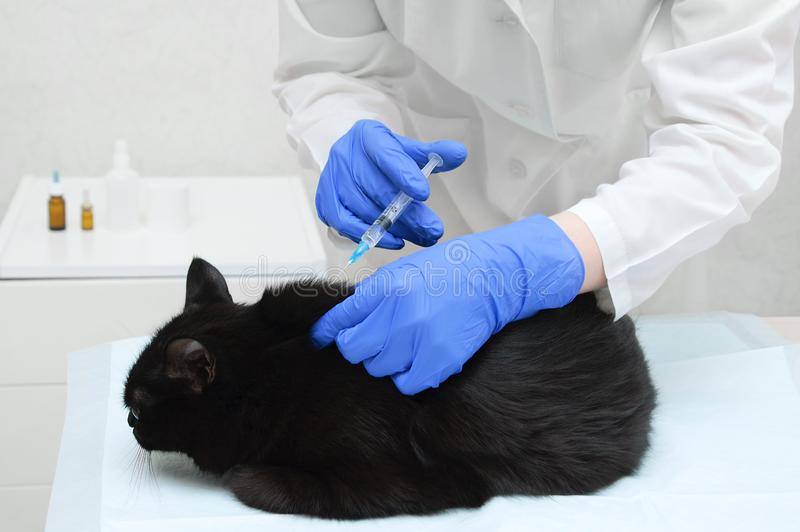 Doctor veterinarian in white coat and gloves makes an injection of a black cat in the doctor office stock image