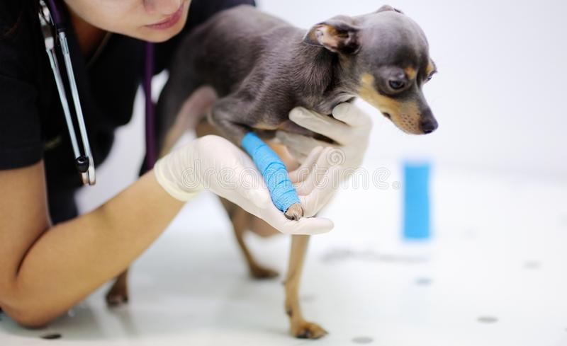 Doctor veterinario de sexo femenino durante el examen en veterinario imagenes de archivo