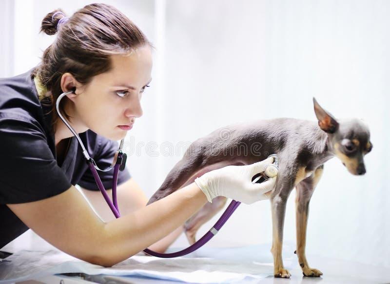 Doctor veterinario que usa el estetoscopio para el perro durante el examen en clínica veterinaria imagenes de archivo