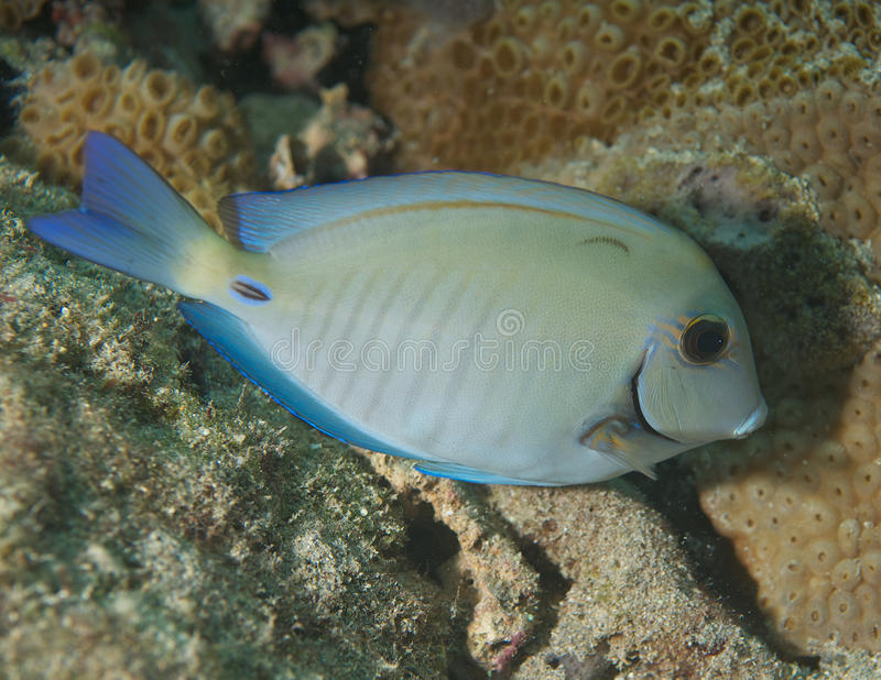 Doctorfish On a Reef. Doctorfish-Acanthurus chirurgus, picture taken on a shallow water reef in Broward County, Florida royalty free stock photos