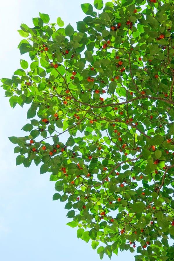 Document Moerbeiboom stock afbeelding