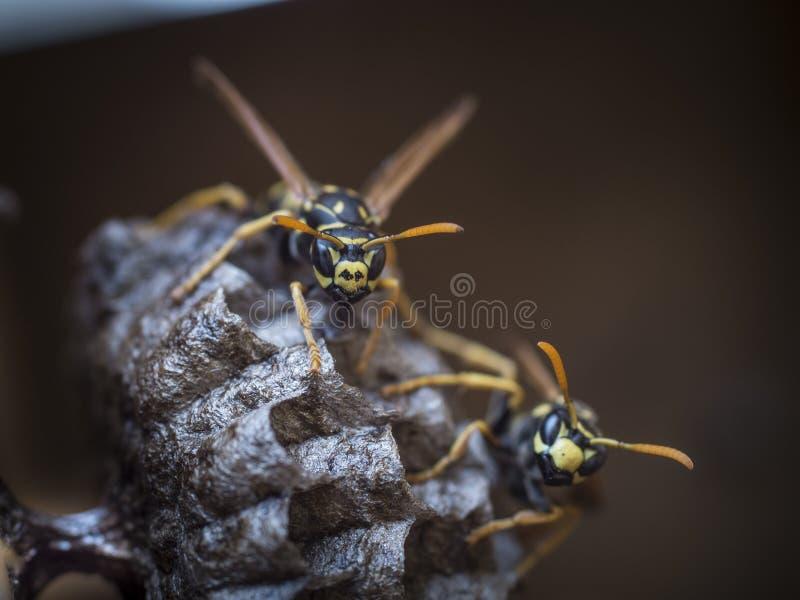 Document wespen die nest beschermen royalty-vrije stock foto