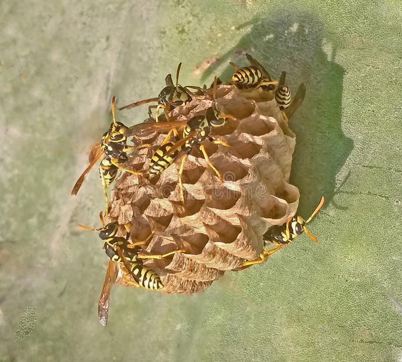 Document wespen en nest stock afbeelding