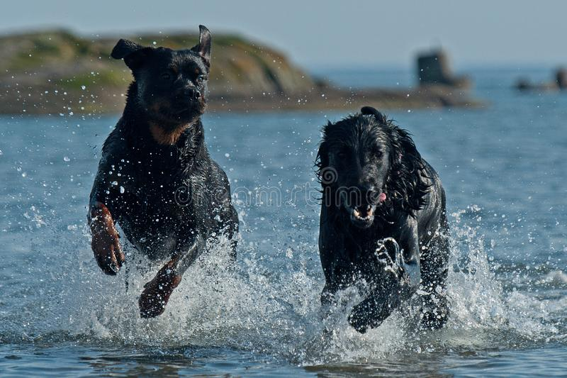 Documentalista di Flatcoated e gioco di Rottweiler nel mare fotografia stock