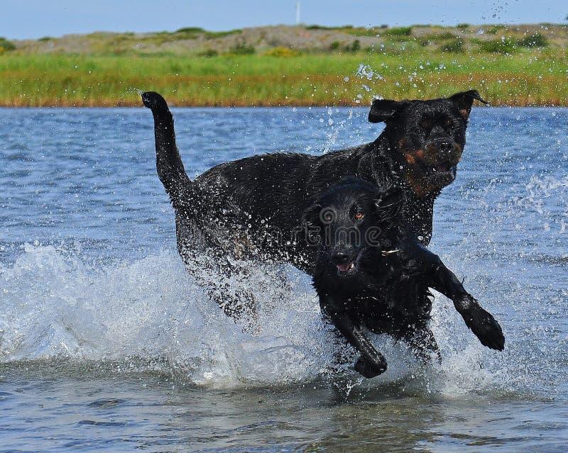 Documentalista di Flatcoated e gioco di Rottweiler nel mare fotografia stock libera da diritti