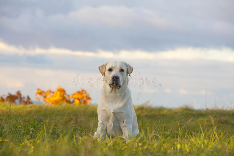 Download Documentalista Di Labrador Del Cane Fotografia Stock - Immagine di giovane, prato: 56892062