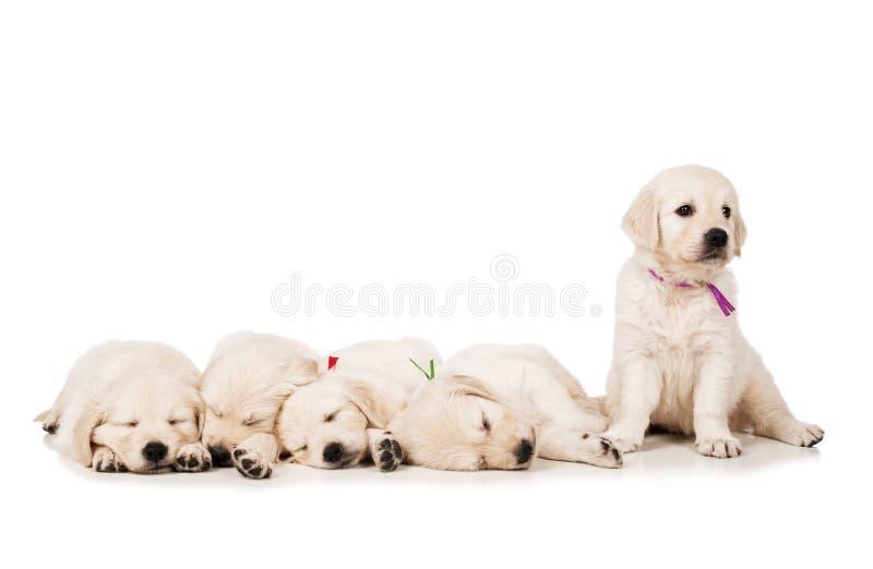 Documentalista dorato dei cuccioli fotografie stock libere da diritti