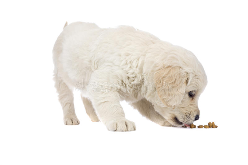 Documentalista dorato del cucciolo immagine stock