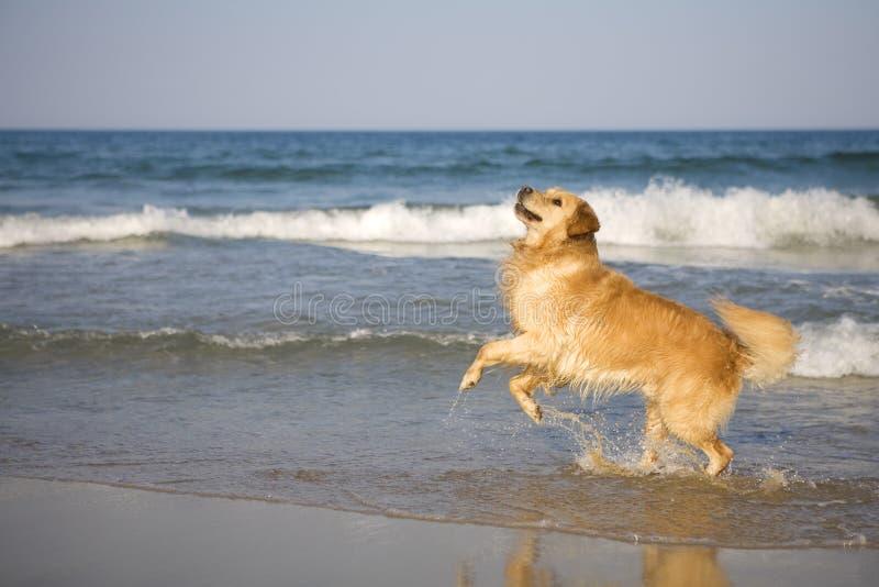 Documentalista dorato sulla spiaggia fotografia stock