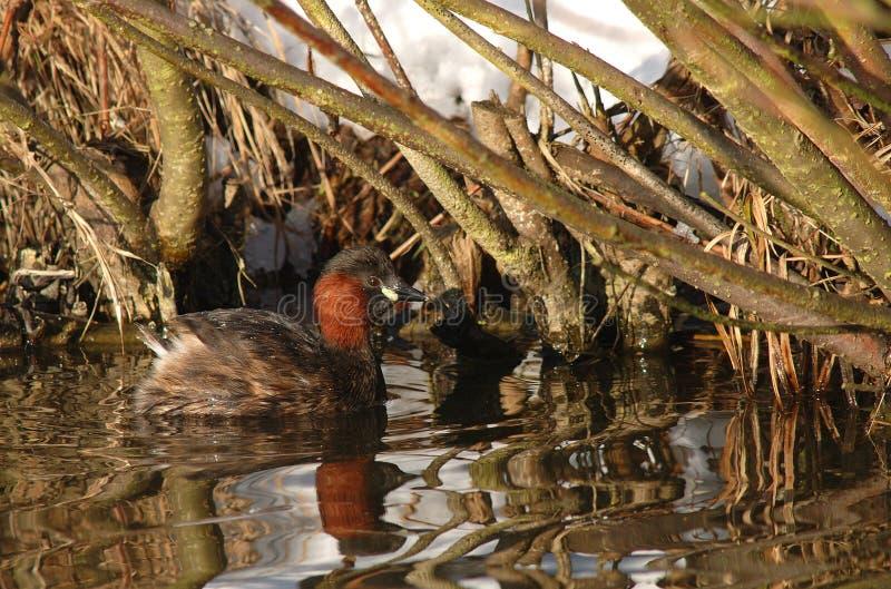 Dodaars; Little Grebe; Tachybaptus ruficollis stock photo