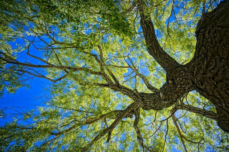 8 dodatkowego eps formata ilustratora dębowy drzewo zdjęcie stock