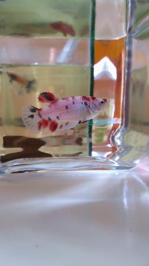 Dodatku specjalnego Betta ryba obraz stock