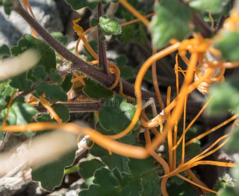 Dodder лоза прикрепленная в завод пустыни стоковые изображения rf