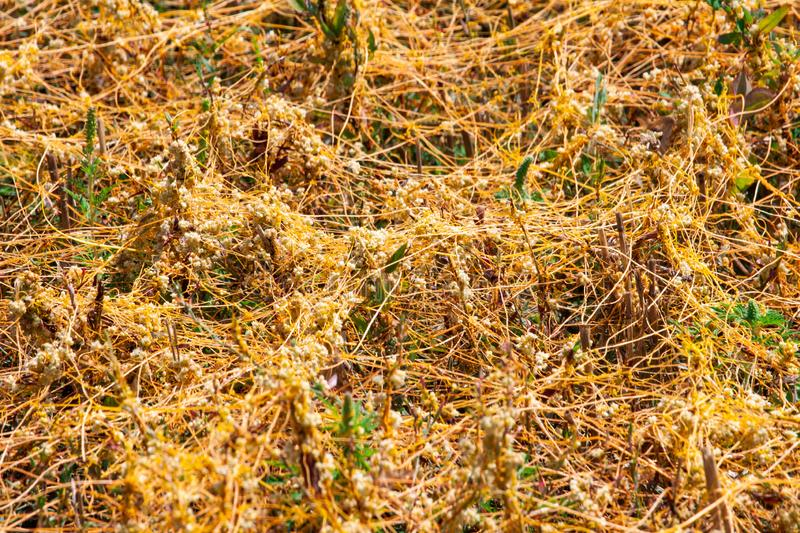 Dodder Genus Cuscuta is The parasite wraps. The stems of plant cultures with yellow threads and sucks out the vital juice and nutrients royalty free stock image