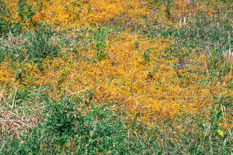Dodder Genus Cuscuta is The parasite wraps. The stems of plant cultures with yellow threads and sucks out the vital juice and nutrients royalty free stock images