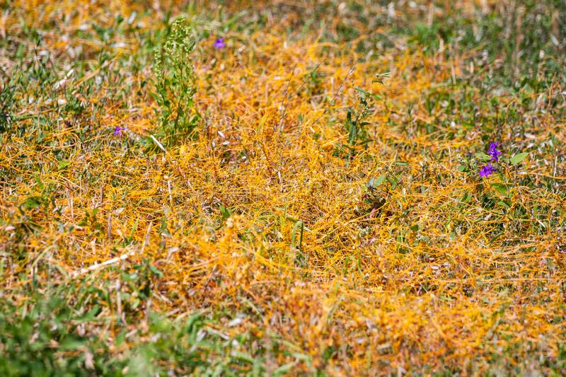 Dodder Genus Cuscuta is The parasite wraps. The stems of plant cultures with yellow threads and sucks out the vital juice and nutrients royalty free stock photo