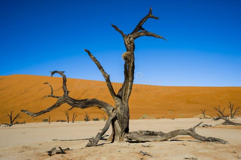 Dode Acacia in Vlei - Sossusvlei - Namibië stock fotografie