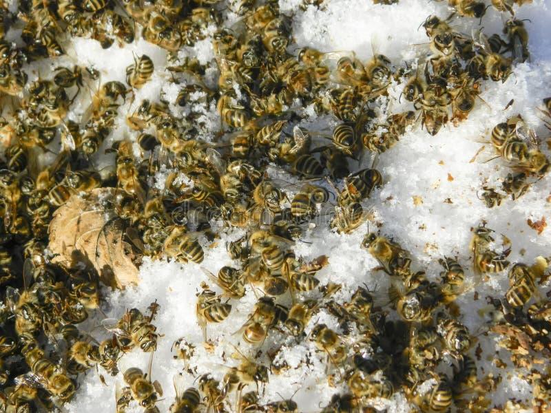Dode bijen in de winter royalty-vrije stock afbeelding