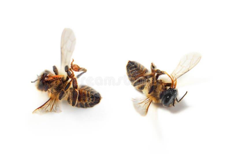 Dode bijen op witte achtergrond stock foto's