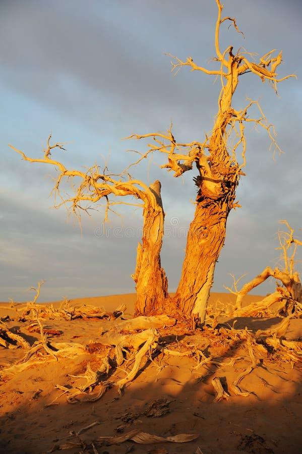 Dode bomen royalty-vrije stock fotografie