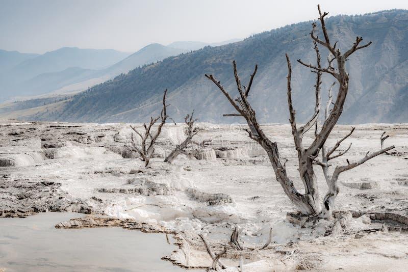 Dode bomen bij de Mammoet Hete Lentes, het Nationale Park van Yellowstone stock afbeeldingen