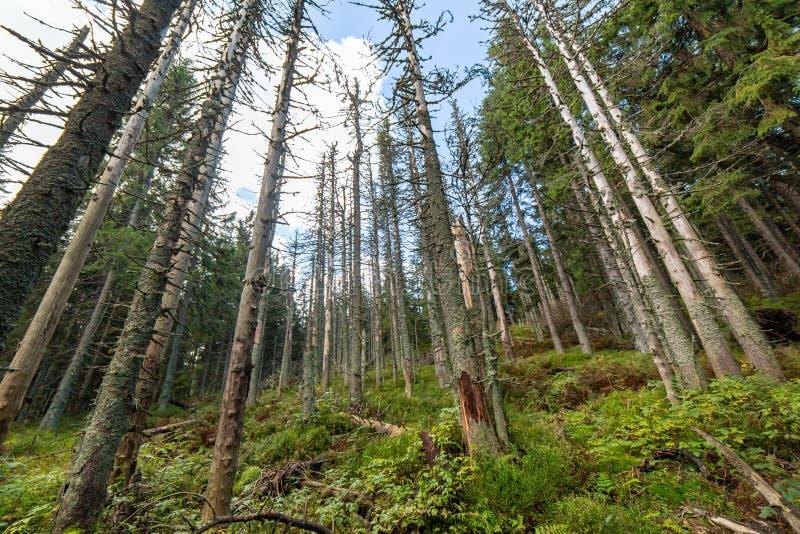 Dode bomen in bos Vernietigde pijnboom na luchtvervuiling Milieu achtergrond royalty-vrije stock fotografie