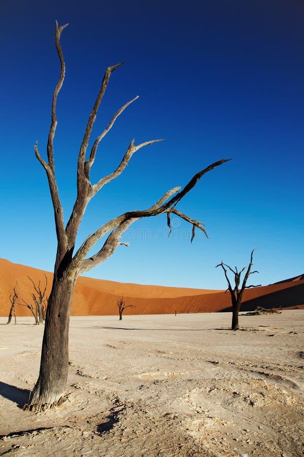 Dode bomen in woestijn Namib royalty-vrije stock foto's