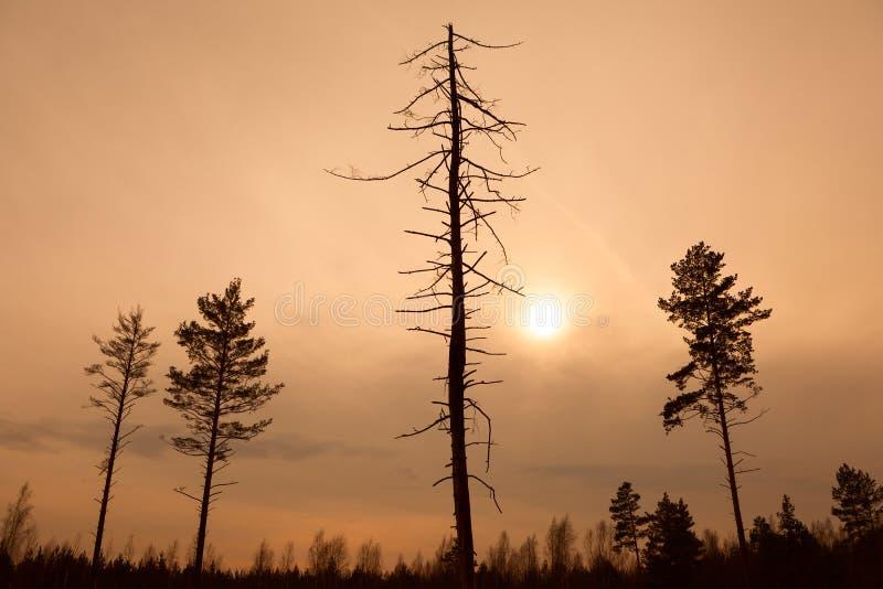 Dode boom bij zonsondergang, gestemd beeld stock fotografie