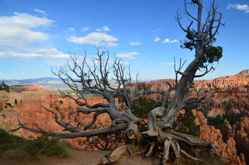 Dode boom in Bryce Canyon National Park Utah stock foto's