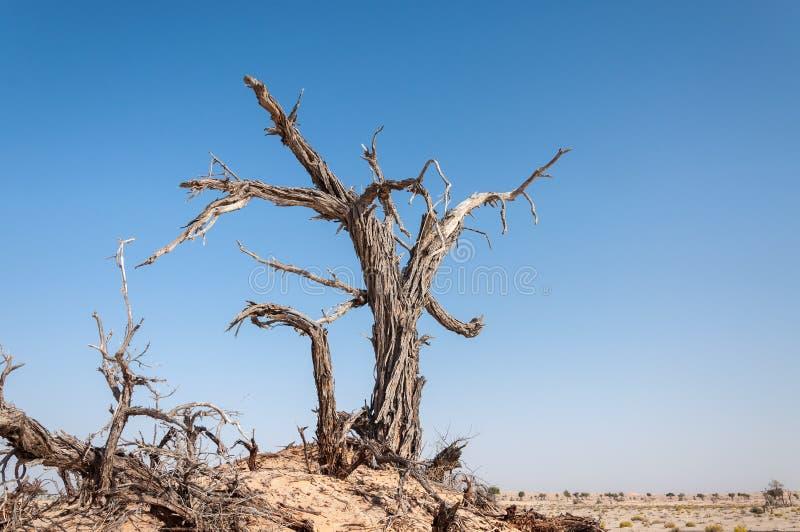 Dode boom in de woestijn van Oman (Oman) stock foto's