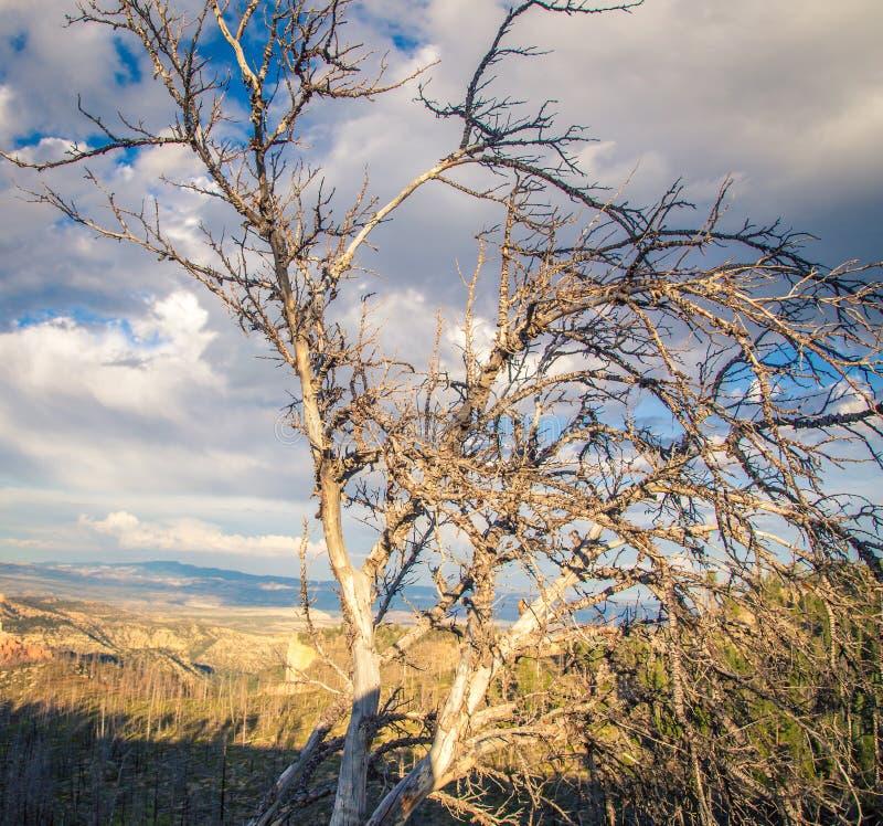 Dode boom die bryce canion overzien stock afbeeldingen