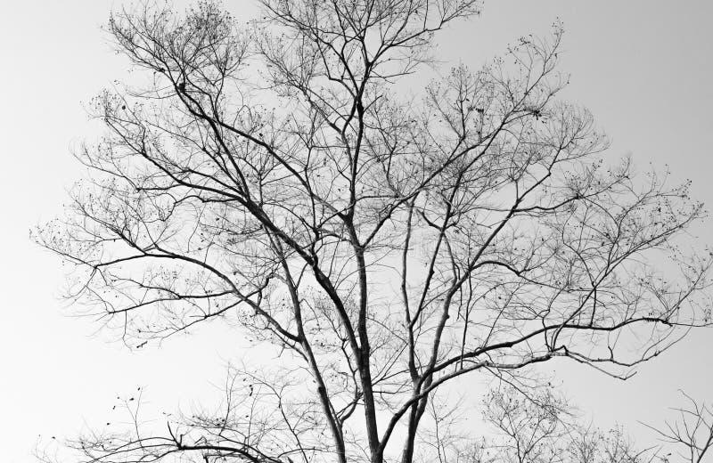 Dode boom zonder bladeren stock afbeelding