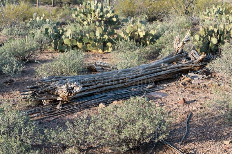 Dode cactus in het Park van West- saguaro Nationaal Tucson royalty-vrije stock foto's