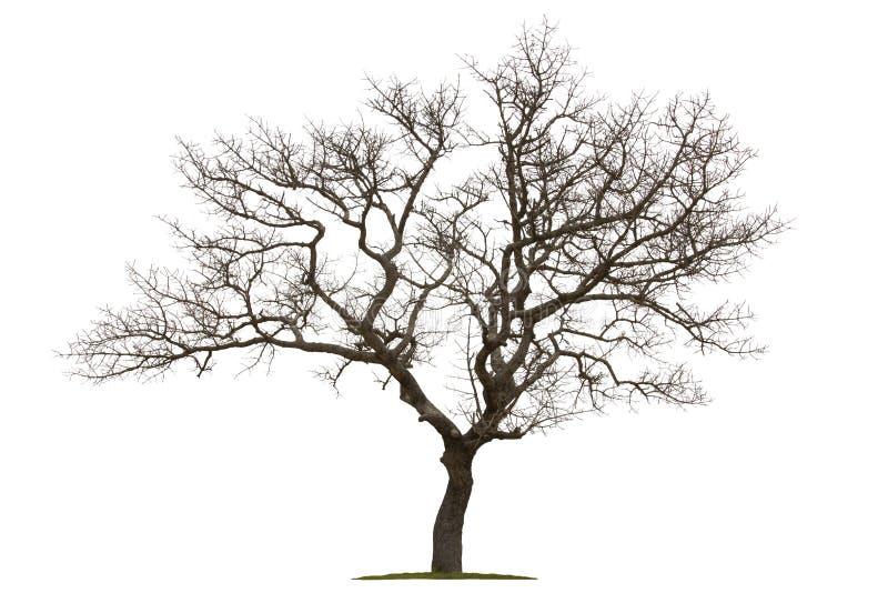Dode die boom met witte achtergrond wordt geïsoleerd stock afbeeldingen