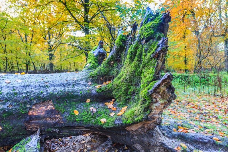 Dode die boomboomstam en boomwortels met mossen in een natuurreservaat wordt overwoekerd royalty-vrije stock foto