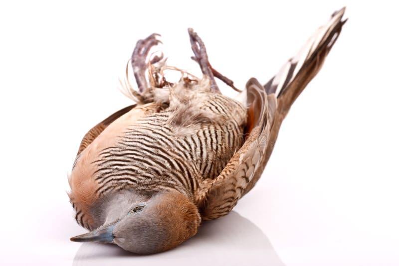 Dode duif brid op wit royalty-vrije stock foto's