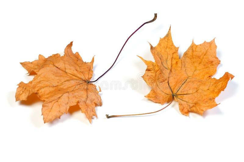 Dode esdoornbladeren stock foto