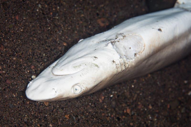 Dode Haai met Afgesneden Vinnen royalty-vrije stock foto