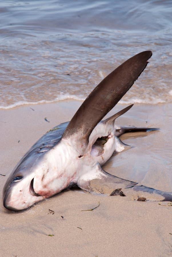 Dode haai op het strand stock foto's