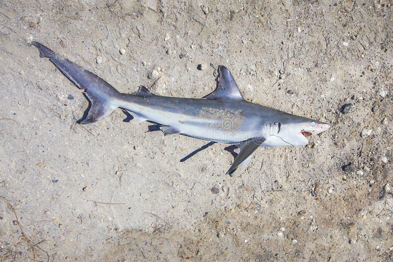 Dode Haai ter plaatse stock foto