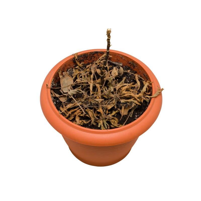 Dode installatie in een pot Ge?soleerd op wit stock foto's