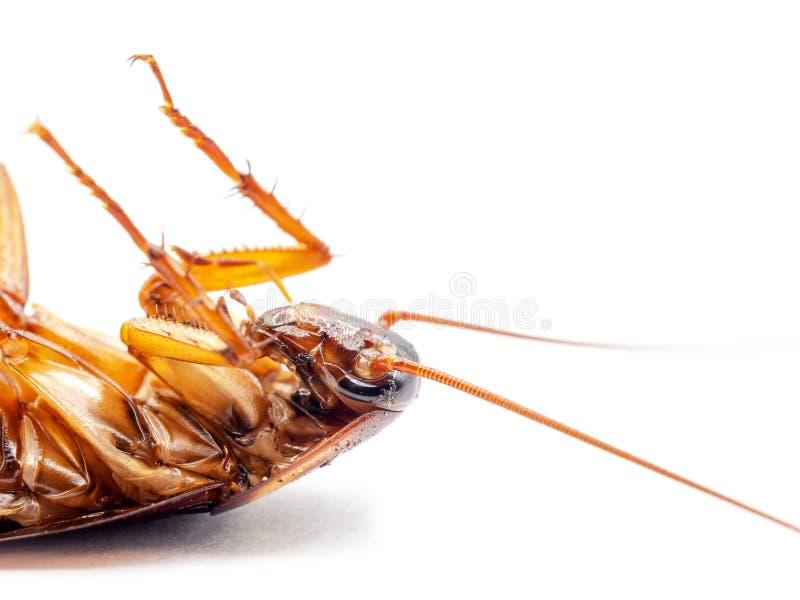 Dode kakkerlak op witte achtergrond royalty-vrije stock afbeelding